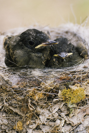 Eastern Phoebe Chicks in Nest
