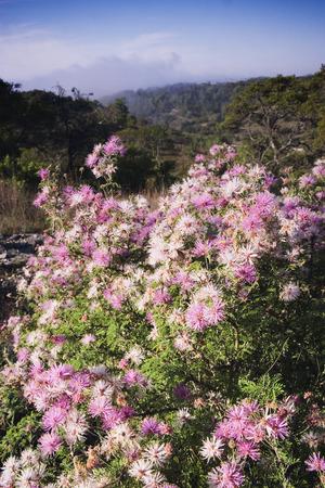 Flowering Mimosa Bush on Hillside, Texas, USA