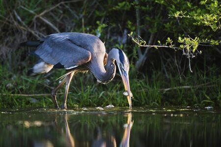 Great Blue Heron Fishing LANG_EVOIMAGES