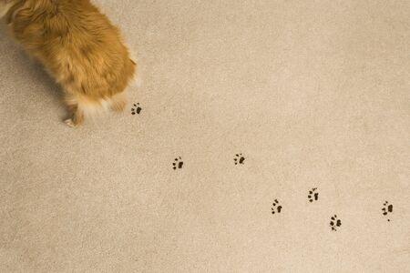 discolorations: Dog Prints on Carpet
