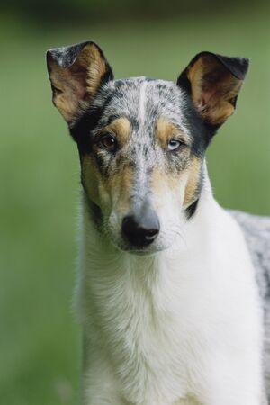 domestication: Portrait of Dog