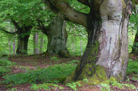 Old Beech Trees in Forest, Kellerwald-Edersee National Park, Hesse, Germany LANG_EVOIMAGES