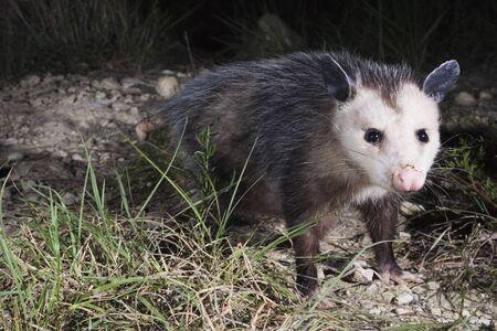 opossum: Opossum at Night