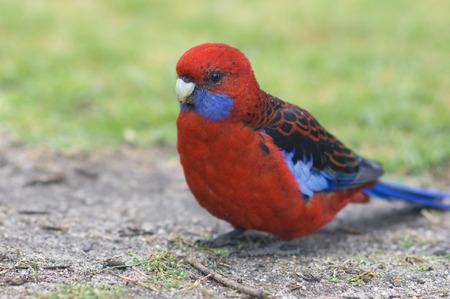 wilsons promontory: Crimson Rosella Parrot, Wilsons Promontory National Park, Victoria, Australia