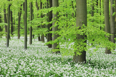 Beech Tree Forest, Hainich National Park, Thuringia, Germany