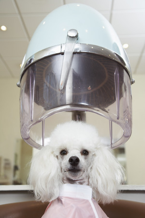 hairdryer: Portrait of Poodle at Hair Salon LANG_EVOIMAGES