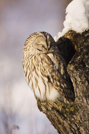 Ural Owl in Tree