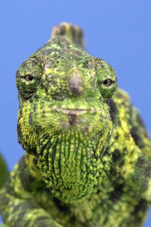 Mellers Chameleon LANG_EVOIMAGES