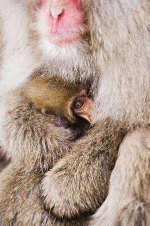 Mother and Baby Japanese Macaque LANG_EVOIMAGES