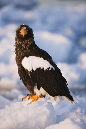 Stellers Sea Eagle, Nemuro Channel, Rausu, Hokkaido, Japan