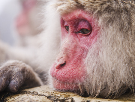 pondering: Portrait of Japanese Macaque