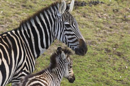 Zebras, Western Plains Zoo, Dubbo, New South Wales, Australia