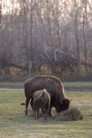Bison and Calf Feeding, Barrie, Ontario, Canada LANG_EVOIMAGES