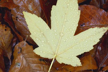 acer: Sycamore Leaf LANG_EVOIMAGES