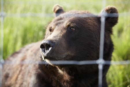 captive: Captive Grizzly Bear LANG_EVOIMAGES