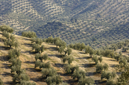 Overview of Olive Plantation, Jaen Province, Andalucia, Spain