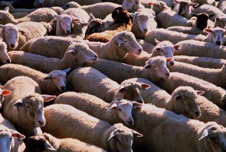 sheepfold: Sheep, Alberta, Canada LANG_EVOIMAGES