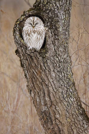 Ural Owl, Hokkaido, Japan