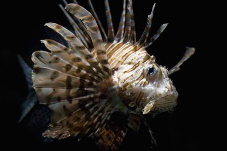 dragonfish: Portrait of Lionfish