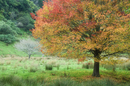 acer: Maple Tree, King Country, North Island, New Zealand