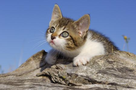 felid: Portrait of Kitten