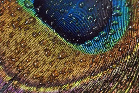 common peafowl: Close-up of Peacock Feather