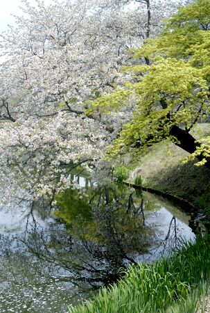acer: Cherry Blossoms and Japanese Maples, Japan