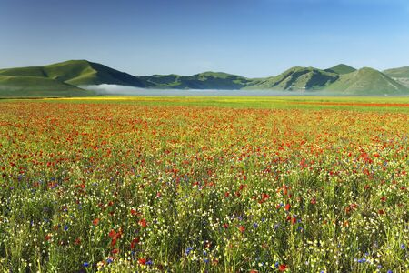 corn flower: Overview of Meadow and Hills, Umbria, Italy