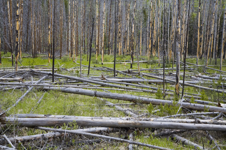 environmental issues: Lodgepole Pines Burnt from Forest Fire, Banff National Park, Alberta, Canada