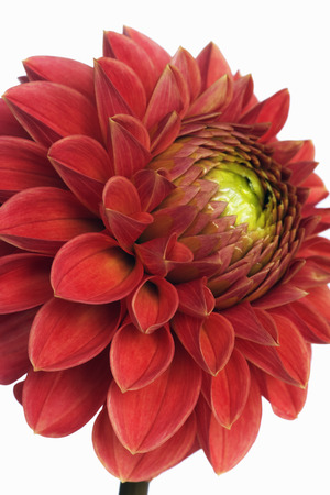 Close-Up of Dahlia LANG_EVOIMAGES