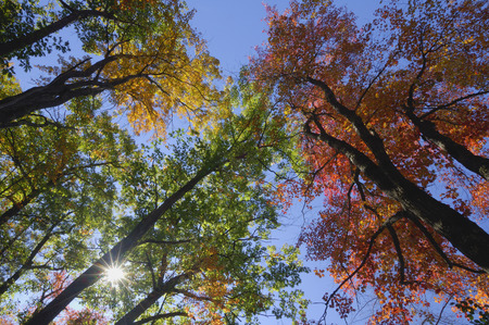 acer: Looking Up at Trees in Autumn