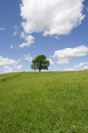 Lone Maple Tree in Field