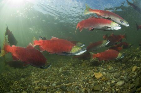 Spawning Sockeye Salmon, Adams River, British Columbia, Canada