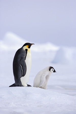 Emperor Penguin With Baby