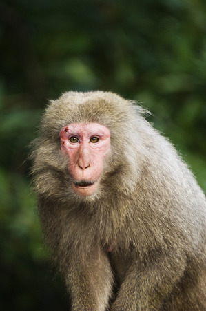 expressing: Close-Up of Macaque, Yakushima, Kyushu, Japan LANG_EVOIMAGES