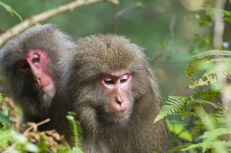 Yakushima Macaques, Yakushima, Kyushu, Japan