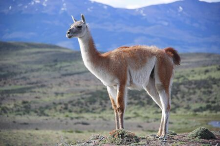 Guanaco in Torres del Paine National Park, Chile