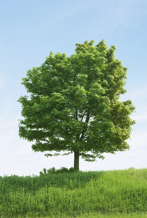 Large Maple Tree in Field