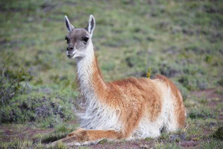 the biosphere: Portrait of Guanaco LANG_EVOIMAGES