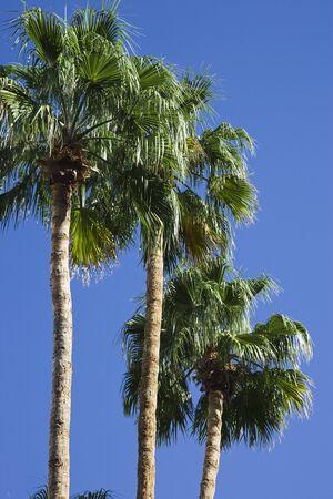 palm trees mirage hotel and casino paradise las vegas nevada