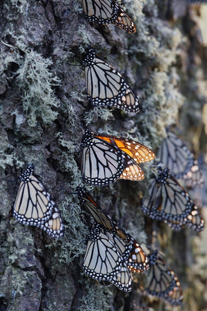 Monarch Butterflies on Pine Tree, Sierra Chincua Butterfly Sanctuary, Angangueo, Mexico
