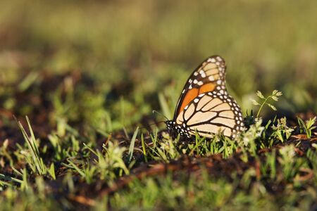 Monarch Butterfly in Grass, El Rosario Monarch Butterfly Reserve, Michoacan, Mexico