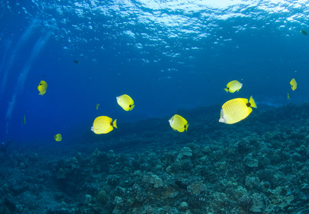chaetodontidae: School of Butterfly Fish, Molokini Island, Maui, Hawaii, USA