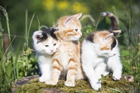 felid: Portrait of Kittens, Bergisches Land, North-Rhine Westphalia, Germany