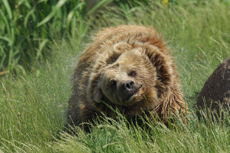 end of a long day: Brown Bear Shaking Water Out of Fur LANG_EVOIMAGES
