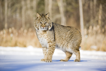 felid: Portrait of Bobcat, Minnesota, USA LANG_EVOIMAGES
