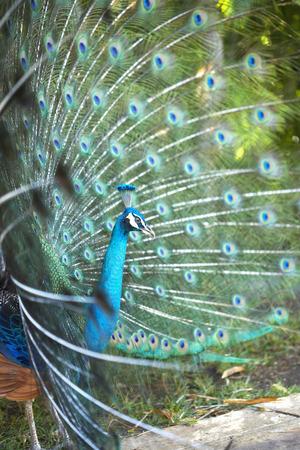 common peafowl: Peacock, Mayan Riviera, Mexico