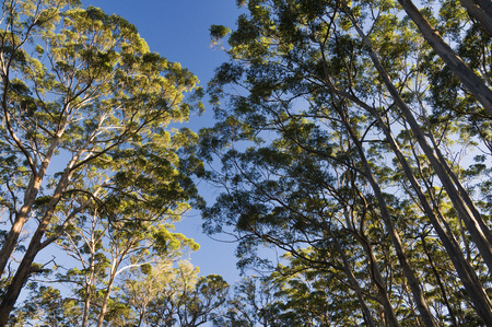 Karri Trees, Boranup Forest, Leeuwin-Naturaliste National Park, Western Australia, Australia LANG_EVOIMAGES