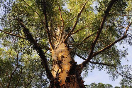 The Diamond Tree, Manjimup, Western Australia, Australia