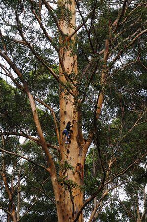 Climbing the Gloucester Tree, Gloucester National Park, Western Australia, Australia LANG_EVOIMAGES